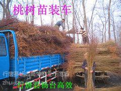 河北省今年秋彤桃树苗多少钱一棵