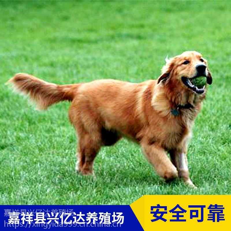 嘉祥县兴亿达精品金毛寻回犬宠物犬养殖场报价