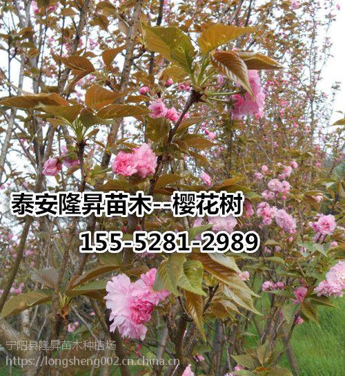 5公分高杆樱花_5公分樱花价格