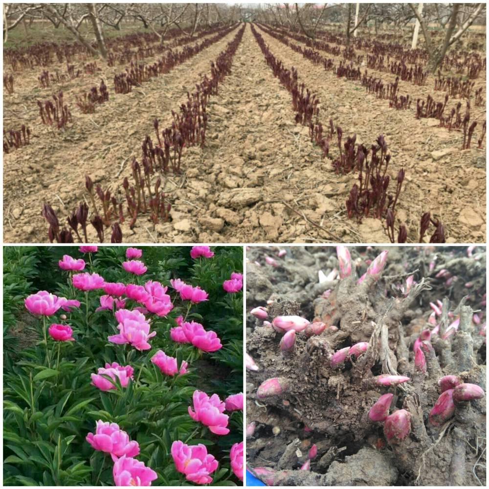 中药芍药种苗一亩地种植多少棵