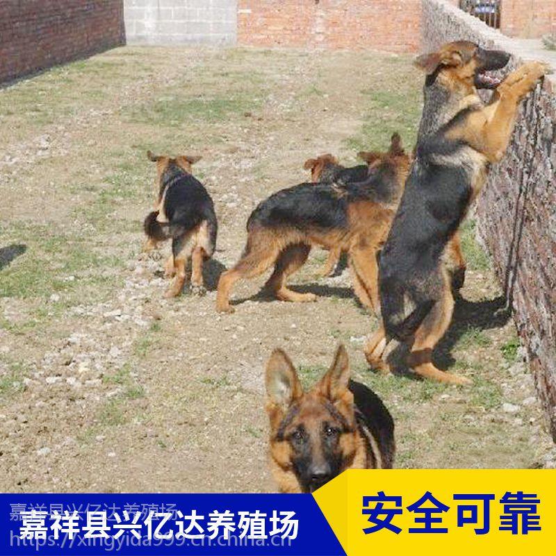 嘉祥县兴亿达纯种德牧犬小奶狗养殖场价格