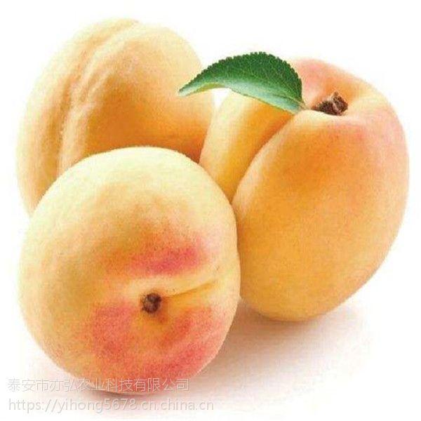 黄桃苗品种 锦绣黄桃苗