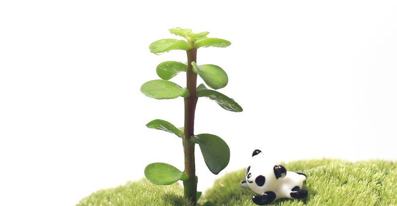 菁娇 金枝玉叶 新鲜活微景观背景多肉植物苗 绿色观叶植物批发图片