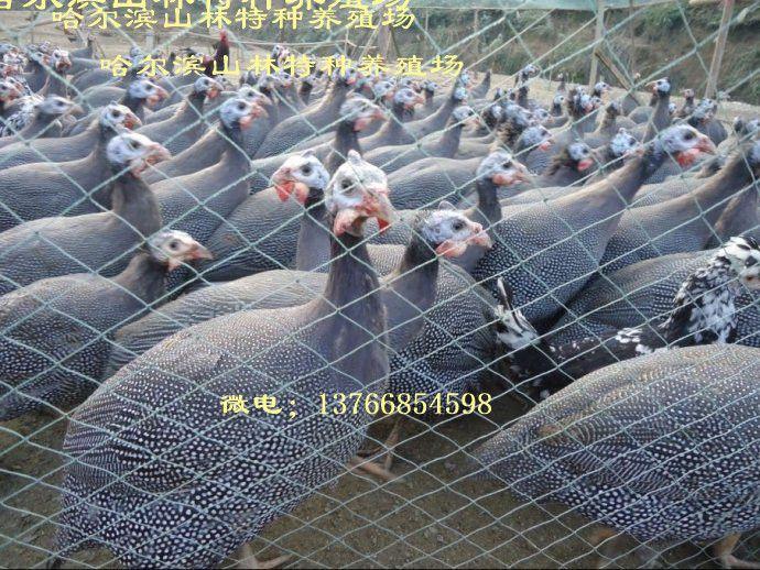 牡丹江珍珠鸡养殖场、珍珠鸡雏 鹤岗珍珠鸡养殖场、珍珠鸡雏、佳木斯珍珠鸡养殖场、珍珠鸡雏