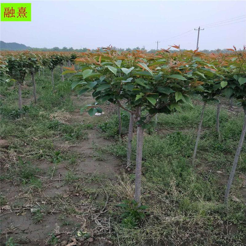 3公分樱花树 日本晚樱 绿化道路专用树 5 6 8公分规格齐全 风景树樱花树