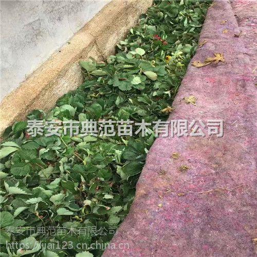 五月香草莓苗价格 五月香草莓苗 秋季预定质优价廉
