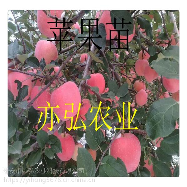 黑钻苹果苗 厂家直供 优质果苗