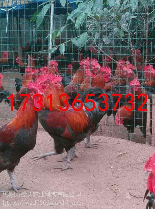 重庆南川市柴鸡苗采购,柴鸡苗厂家