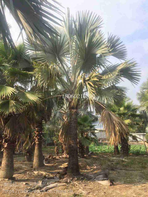 广西霸王棕喜阳棕榈树,广西霸王棕街道绿化