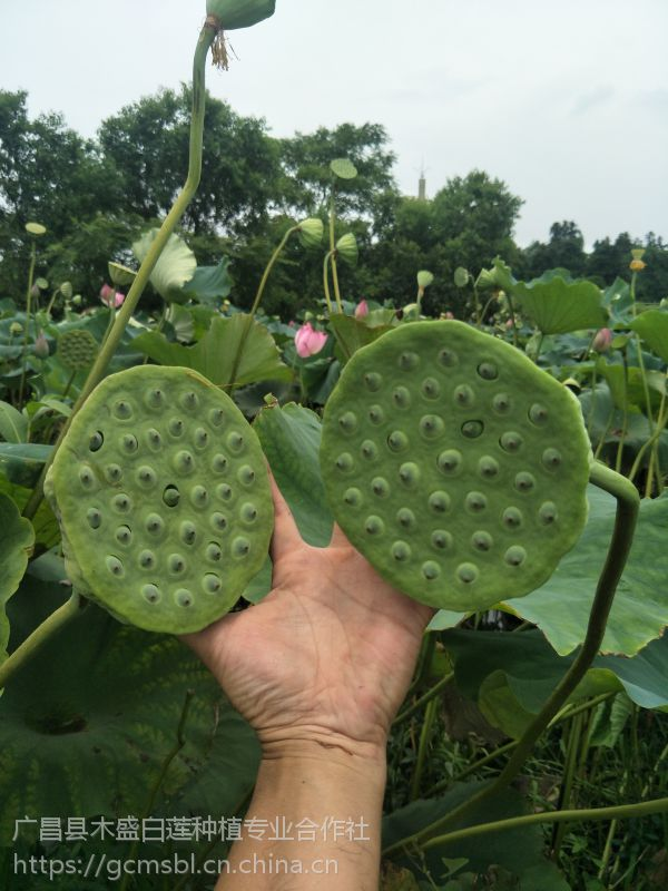批发江西莲子新品种籽莲种苗只开花不结藕免费提供种植技术指导
