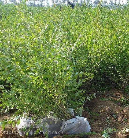 告诉您水蜡苗哪里便宜 江苏水蜡苗种植基地苗好价优 有大量现货