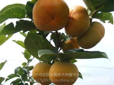 甜柿苗,日本甜柿苗,甜柿树苗,新品种甜柿苗