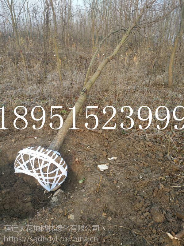 胸径8公分乌桕树价格多少钱一棵报价120元行道树乌桕基地