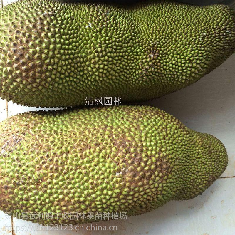 万宁菠萝蜜苗批发 马来西亚一号菠萝蜜苗15777793411