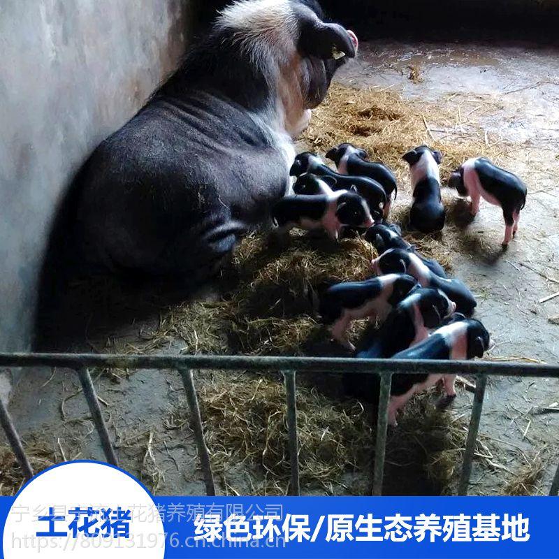 湖南宁乡县名猪健康活体备孕母猪生态散养牧场优选配种