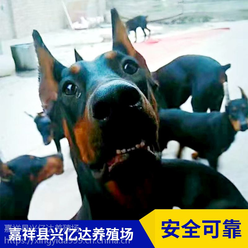 嘉祥县兴亿达幼年杜宾犬工作犬养殖场供应