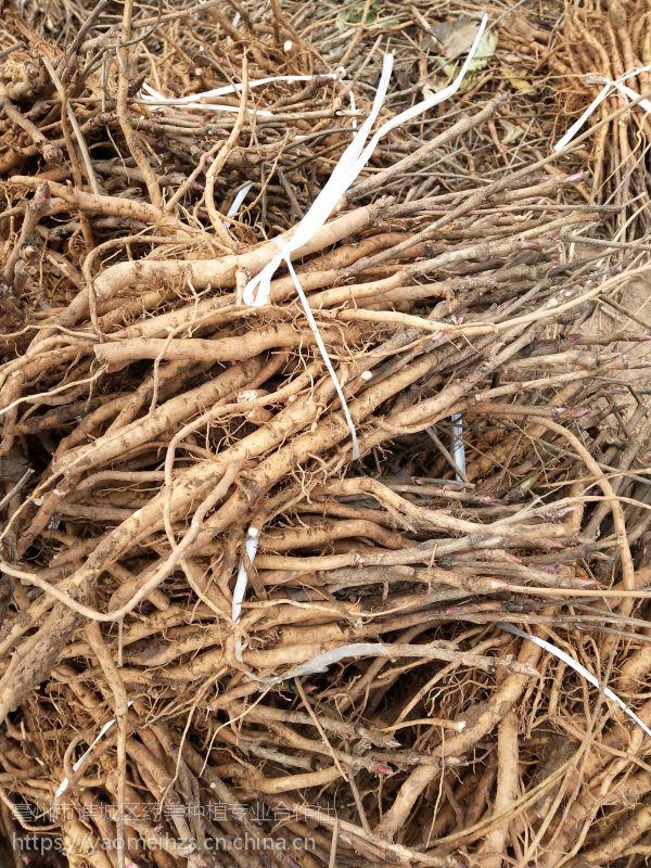 亳州油用牡丹苗 二年牡丹苗大量批发