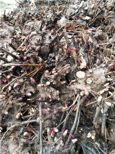 白芍芽子种好以后需要浇水吗 白芍芽子种植技术
