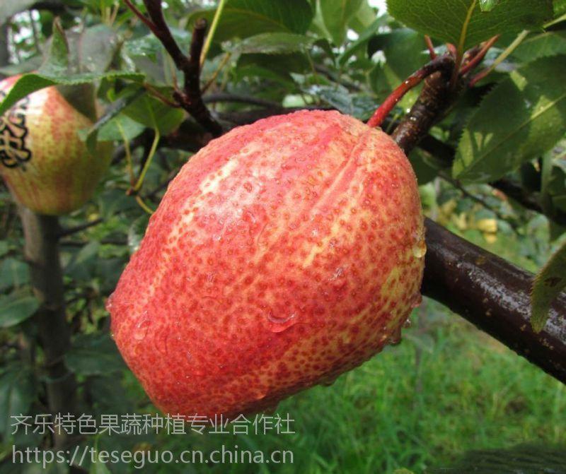 江西致富水果种苗 早酥红梨 批发