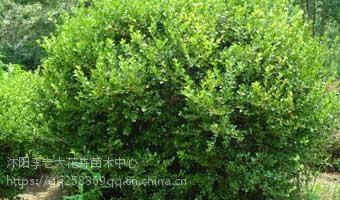 沭阳基地50公分高小叶黄杨40公分高小叶黄杨价格35公分高小叶黄杨价格