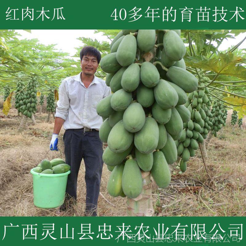 批发台湾红肉木瓜苗 广西灵山出售黃肉木瓜树苗 南方水果树苗