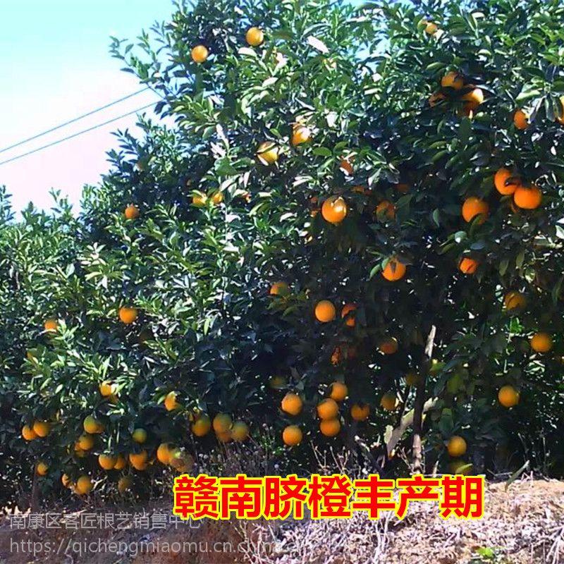 江西宁都橙子树苗 赣南脐橙树苗 秋季结果苗基地上犹县脐橙苗圃