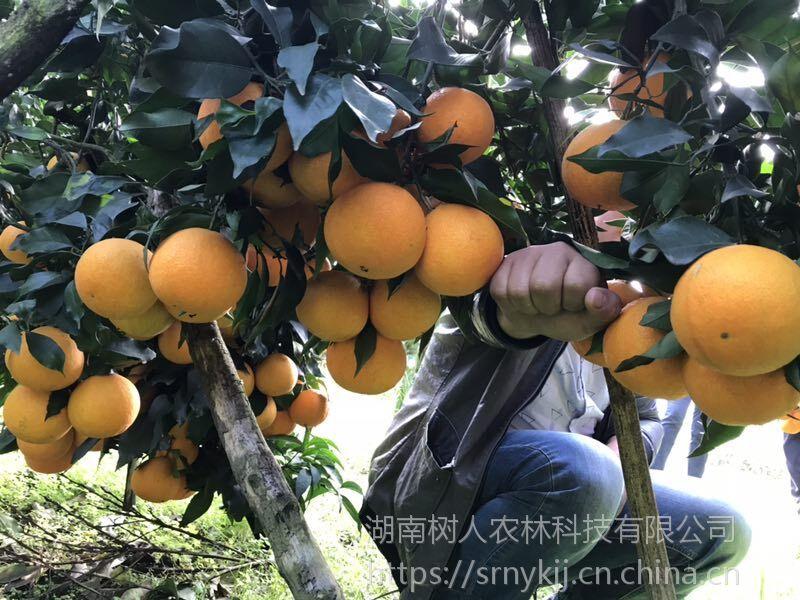 爱媛38的种植密度怎么定 今年收购价是多少