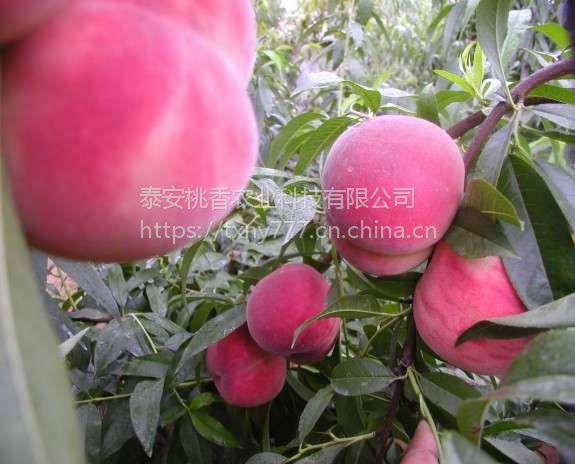 中秋红蜜桃树苗,山东中秋红蜜桃树苗价格