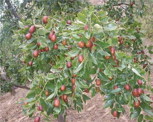 枣树苗1-5公分多少钱一颗