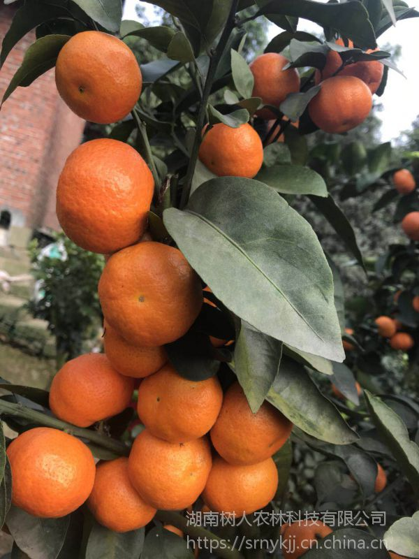湖北公安适合种什么品种 金秋砂糖橘适合公安县吗