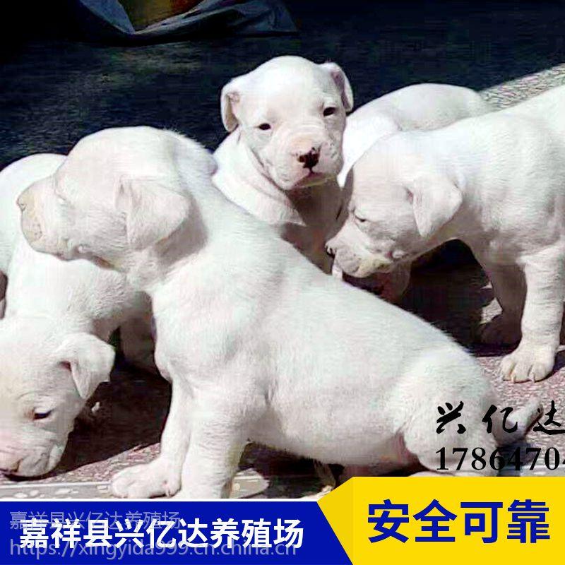 嘉祥县兴亿达优质杜高犬幼犬养殖场报价