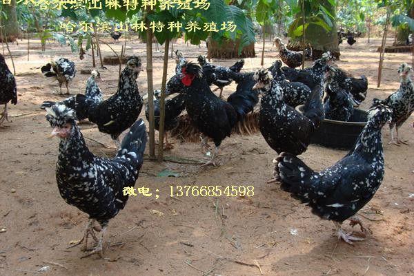 黑龙江贵妃鸡养殖、贵妃鸡雏、哈尔滨贵妃鸡养殖、贵妃鸡雏、齐齐哈尔贵妃鸡养殖、贵妃鸡雏