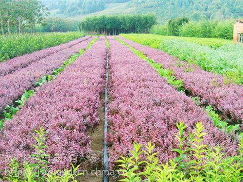 沭阳红叶小檗价格 沭阳苗农自家红叶小檗价格通报