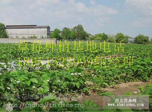 2018年江苏草莓苗价格多少钱一棵 水果草莓苗基地 图片