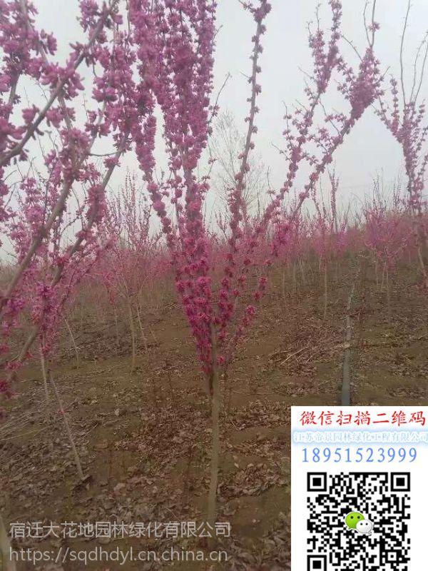 2018年浙江地区地径4公分紫荆价格多少钱一棵盆栽地被基地
