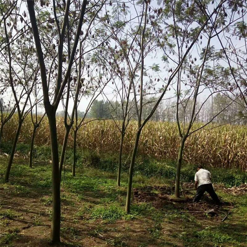 2018年米径8公分合欢树报价10公分合欢价格多少钱一棵