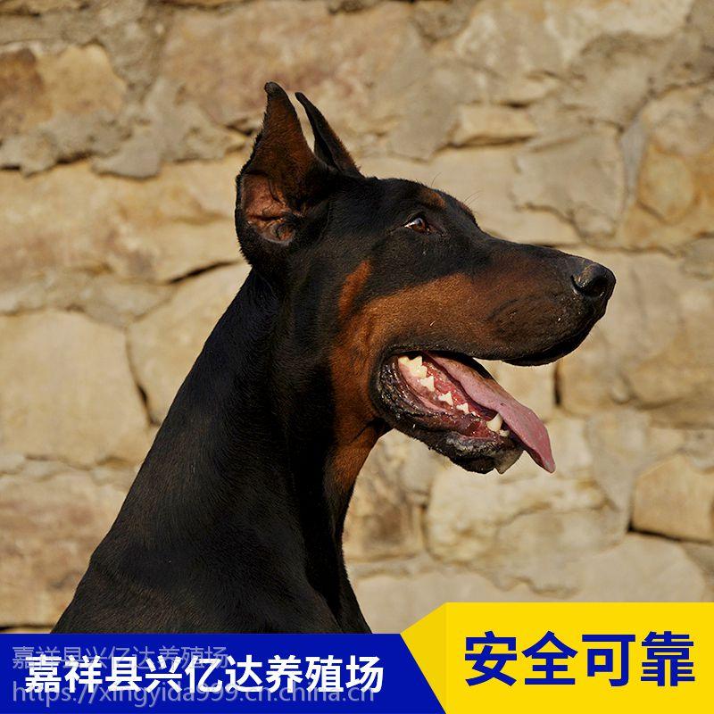 嘉祥县兴亿达幼年杜宾犬幼苗养殖场供应