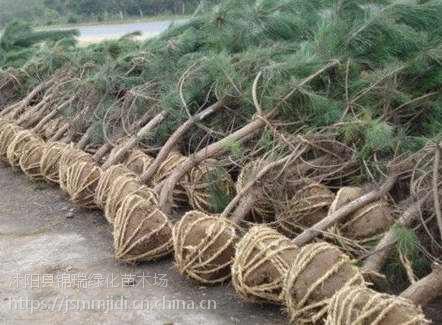 购买黑松树来江苏沭阳苗木基地 这里黑松树苗好价优