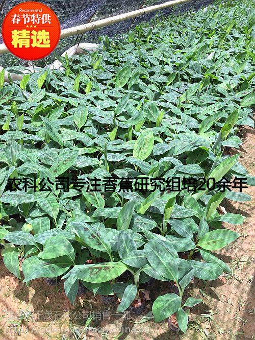 云南文山香蕉苗丨1元一株包邮发货丨 广西源科植物种业公司