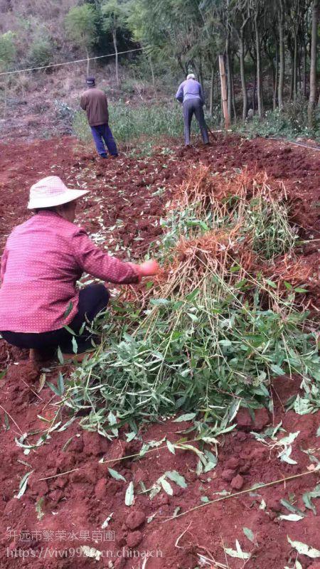 凉山贵州攀枝花冬桃苗 专属供应合作开远繁荣苗圃60公分