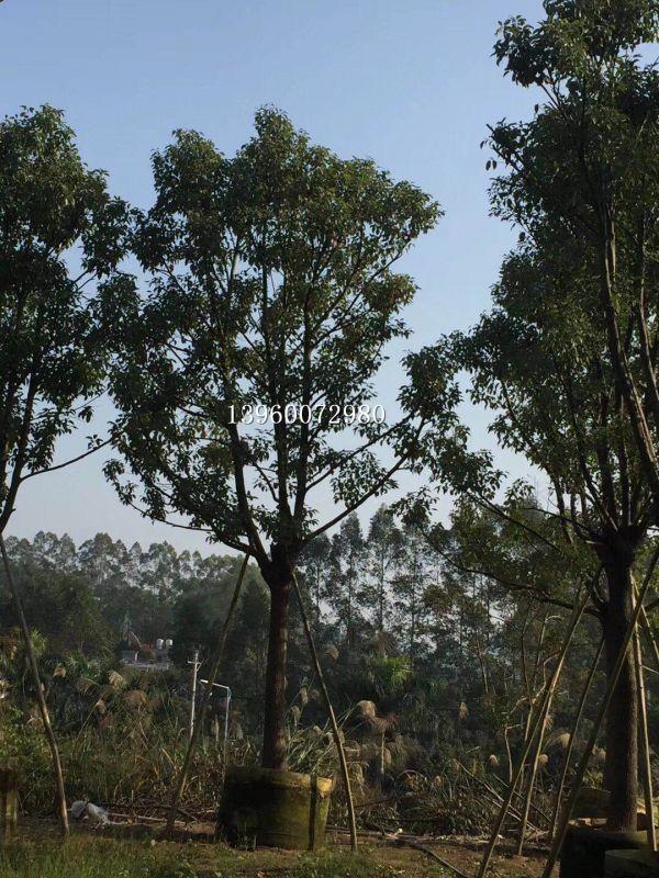重庆18公分全冠香樟移栽,重庆哪里栽种香樟袋苗