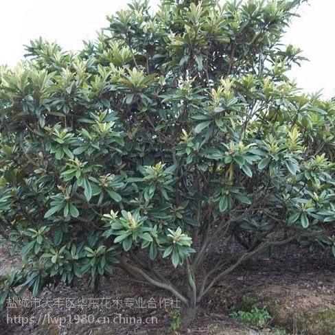 胸径8公分枇杷树价格与 胸径10公分枇杷树价格相差多少?