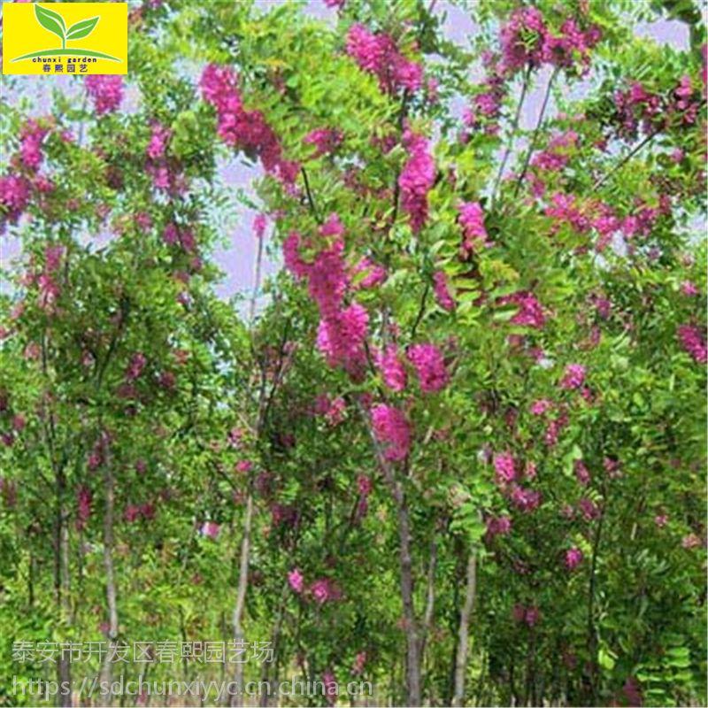 供应绿化香花槐树苗 富贵树 2公分3公分4公分香花槐 紫花槐基地