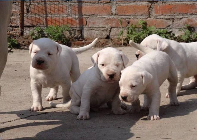 江苏盐城市黑狼犬哪里有卖纯种的幼犬多少钱一只