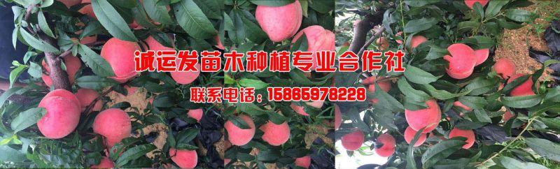 国庆脆红桃授粉2017桃树新品种介绍