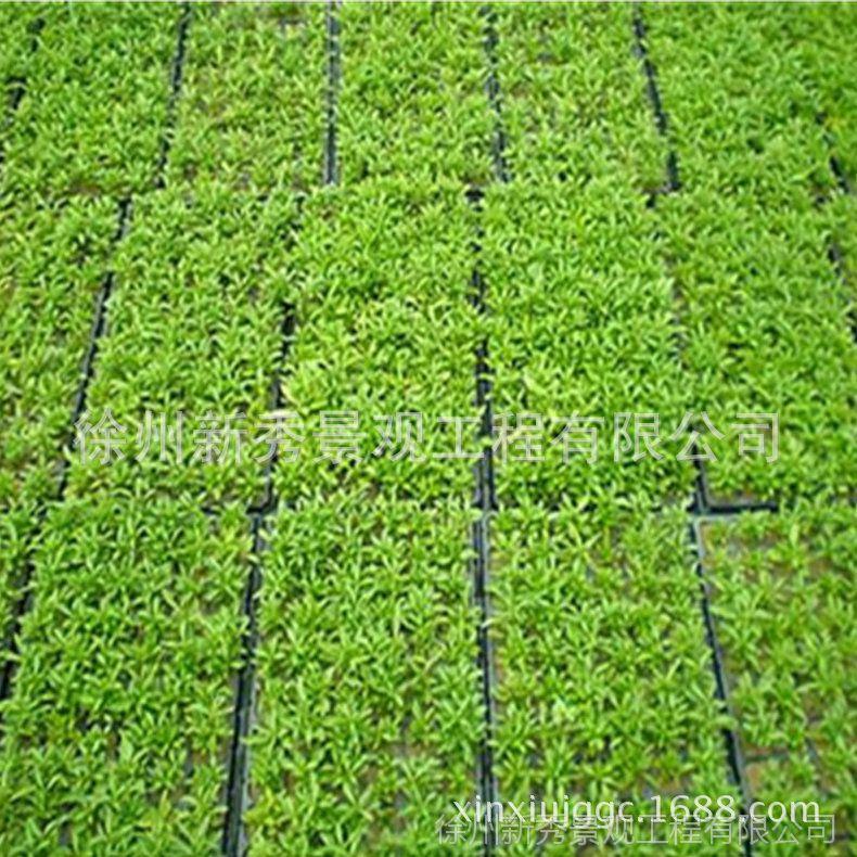 经销批发五色草景观 五色草组字 绿化五色草 质优价廉