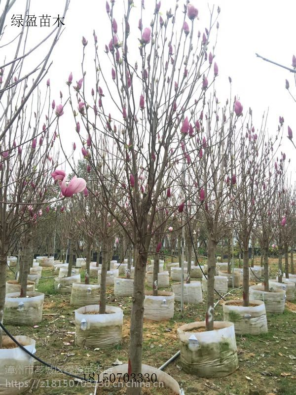 紫玉兰大量供应,园林风景树,自产自销