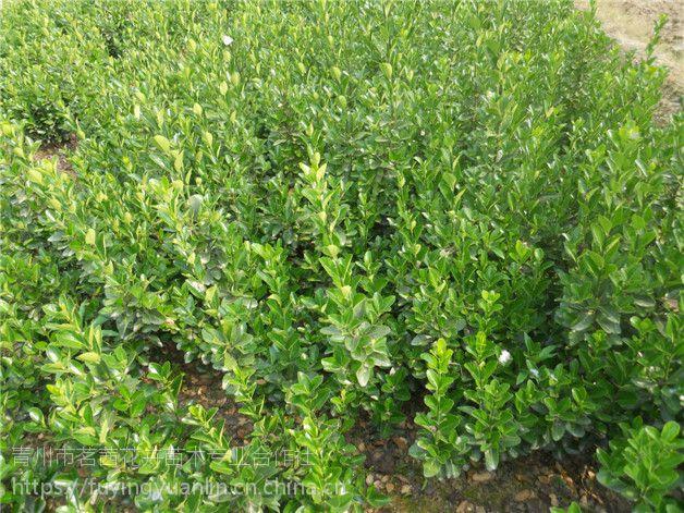 绿化苗木种植基地 各种绿化苗木 地被绿篱基地供应