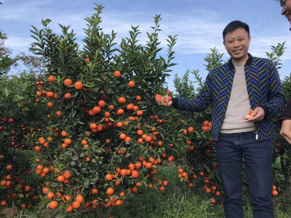 少核默科特杂柑柑橘市场前景优超市售价高