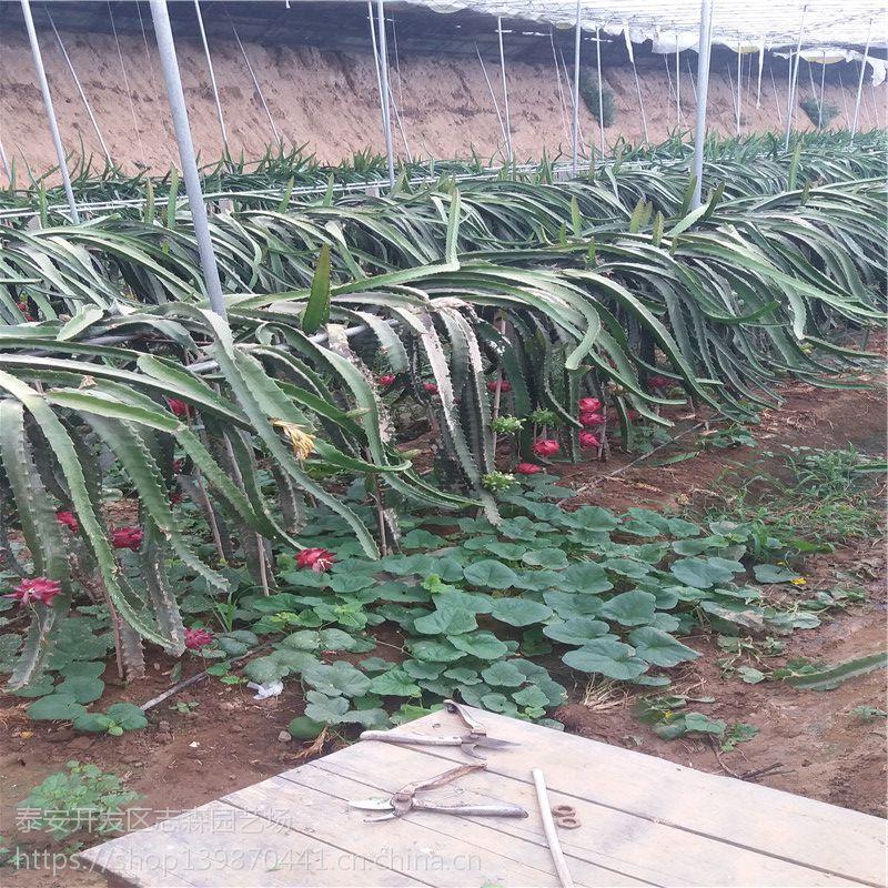 志森园艺火龙果苗 北方火龙果苗供应 品质纯正红心火龙果